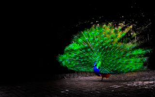 Peacock Bird Wallpaper