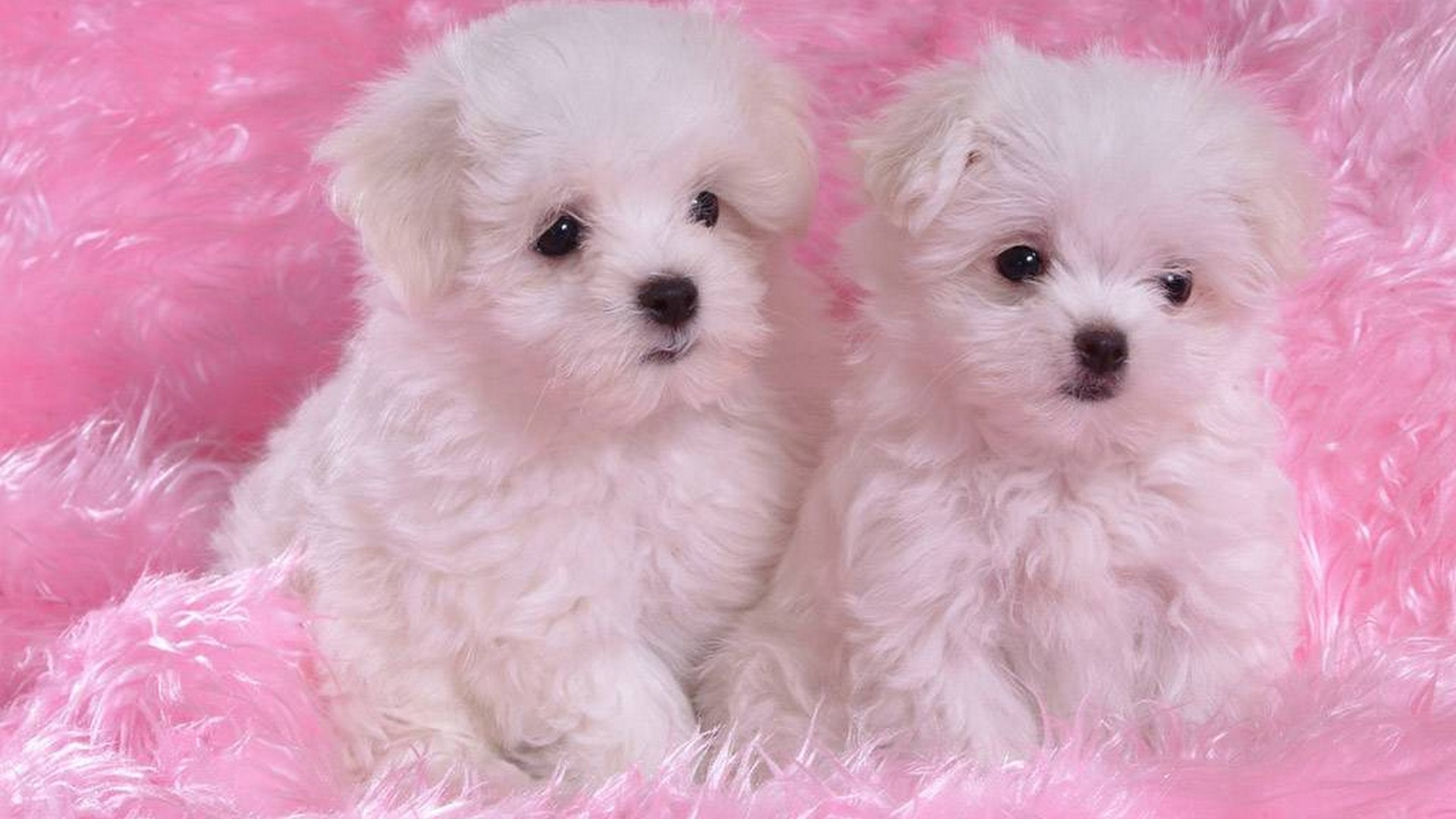 Cute Puppies Desktop Wallpaper 1920x1080