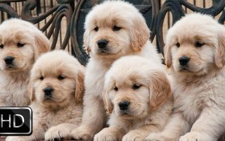 HD Cute Puppies Backgrounds Resolution 1920x1080